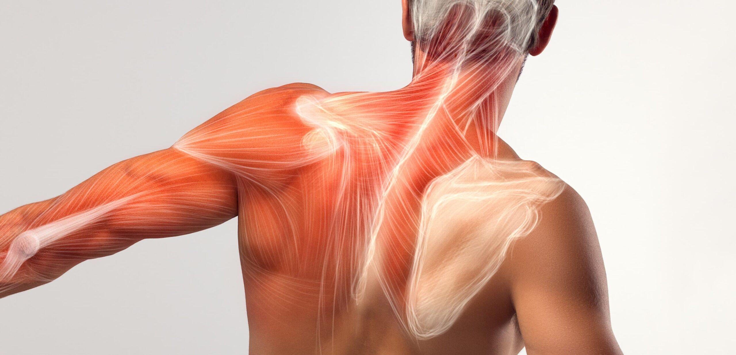 romboidi anatomia e esercizi