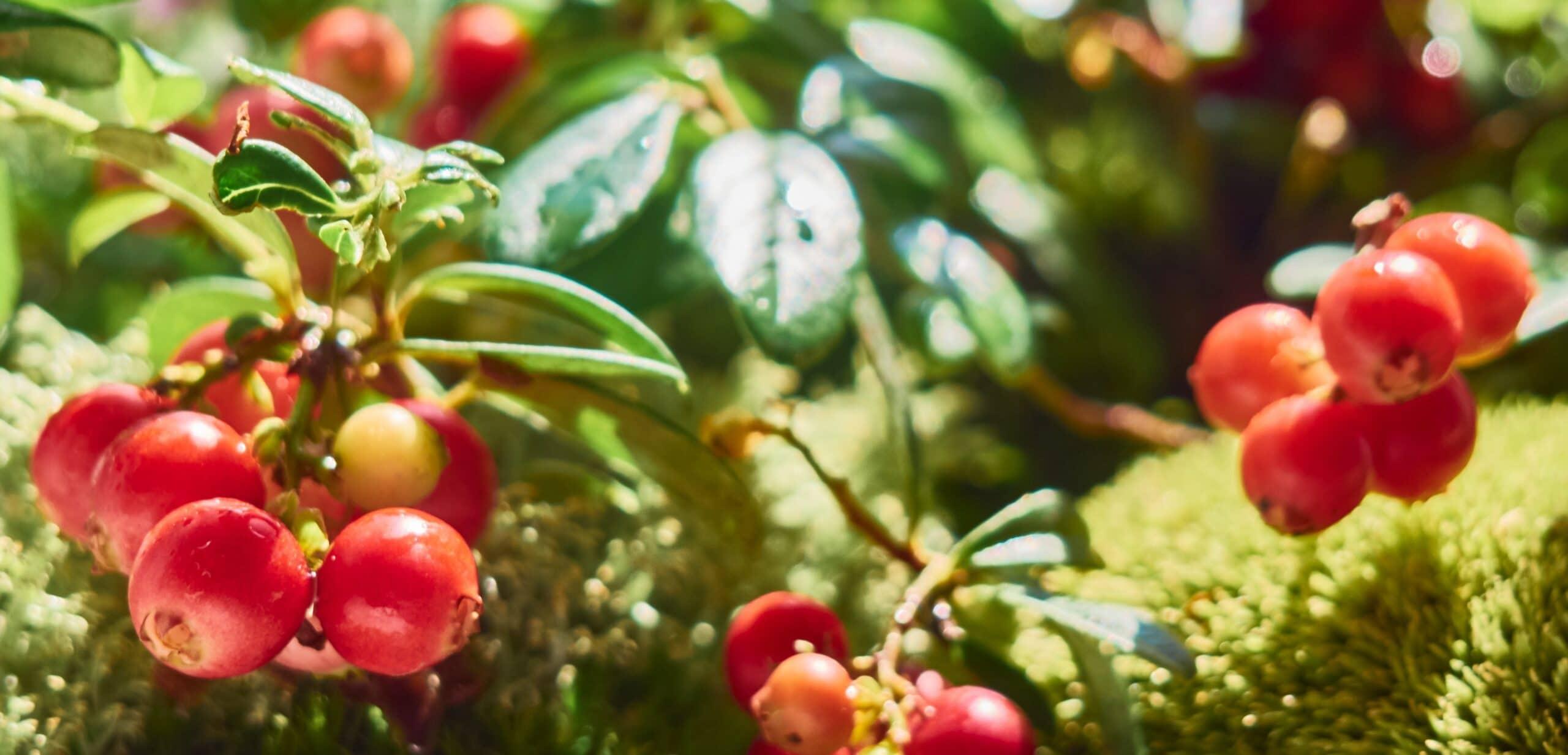 Mirtillo rosso Ericacee